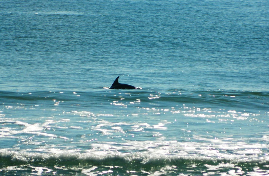 Dolphin in Surf City | photo courtesy of TownofSurfCity.com